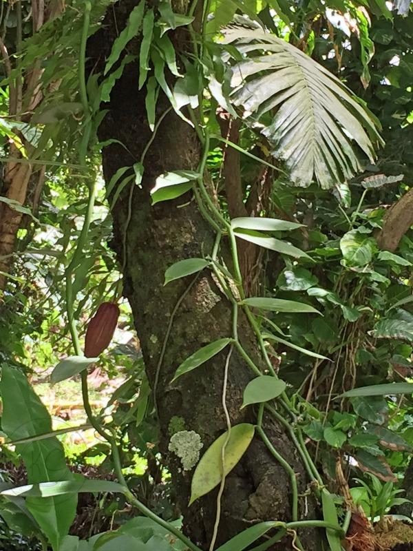 Diamond Botanical Gardens Saint Lucia vanilla and cocoa pebblepirouette.com #caribbean #saintlucia #botanicalgardens #flowers #tropicalflowers