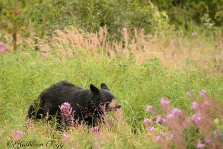 Wildlife Photography Tips Black Bear
