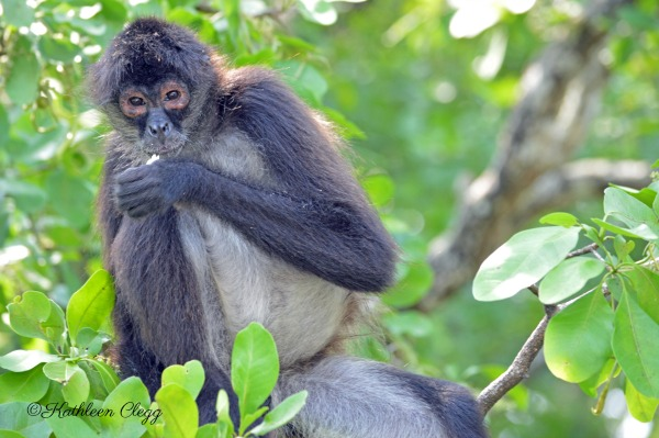 Tips for Photographing Wildlife Spider Monkey