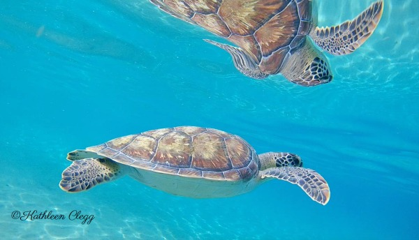 Tips for Photographing Wildlife Sea Turtle